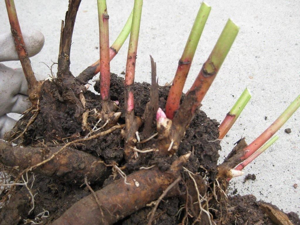 Дицентра (dicentra): сорта и виды на фото. выращивание дицентры и уход
