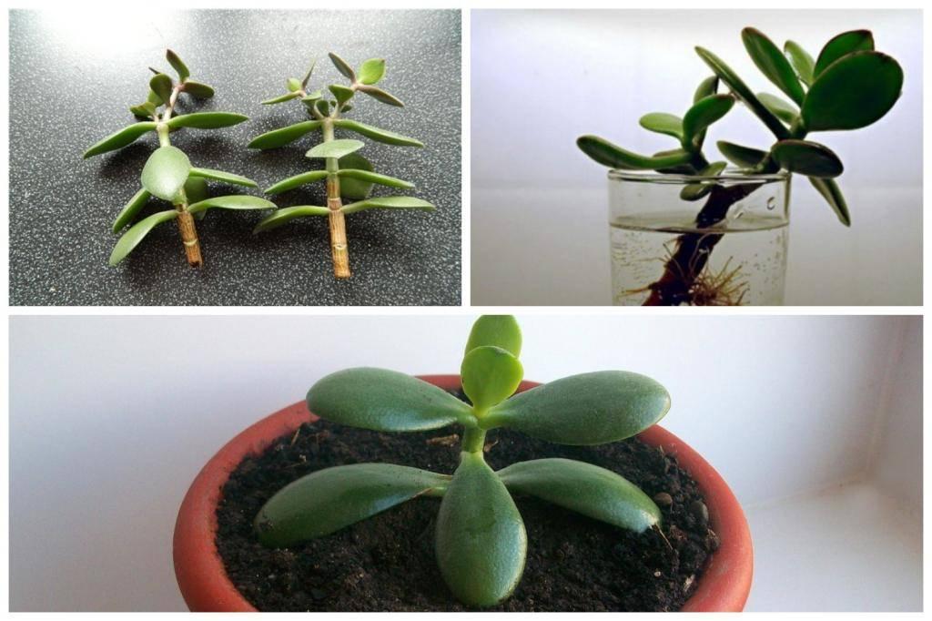 Как вырастить денежное дерево из листочка: как посадить черенок толстянки в землю и укоренить в воде, и нюансы размножения и содержания крассулы в домашних условиях