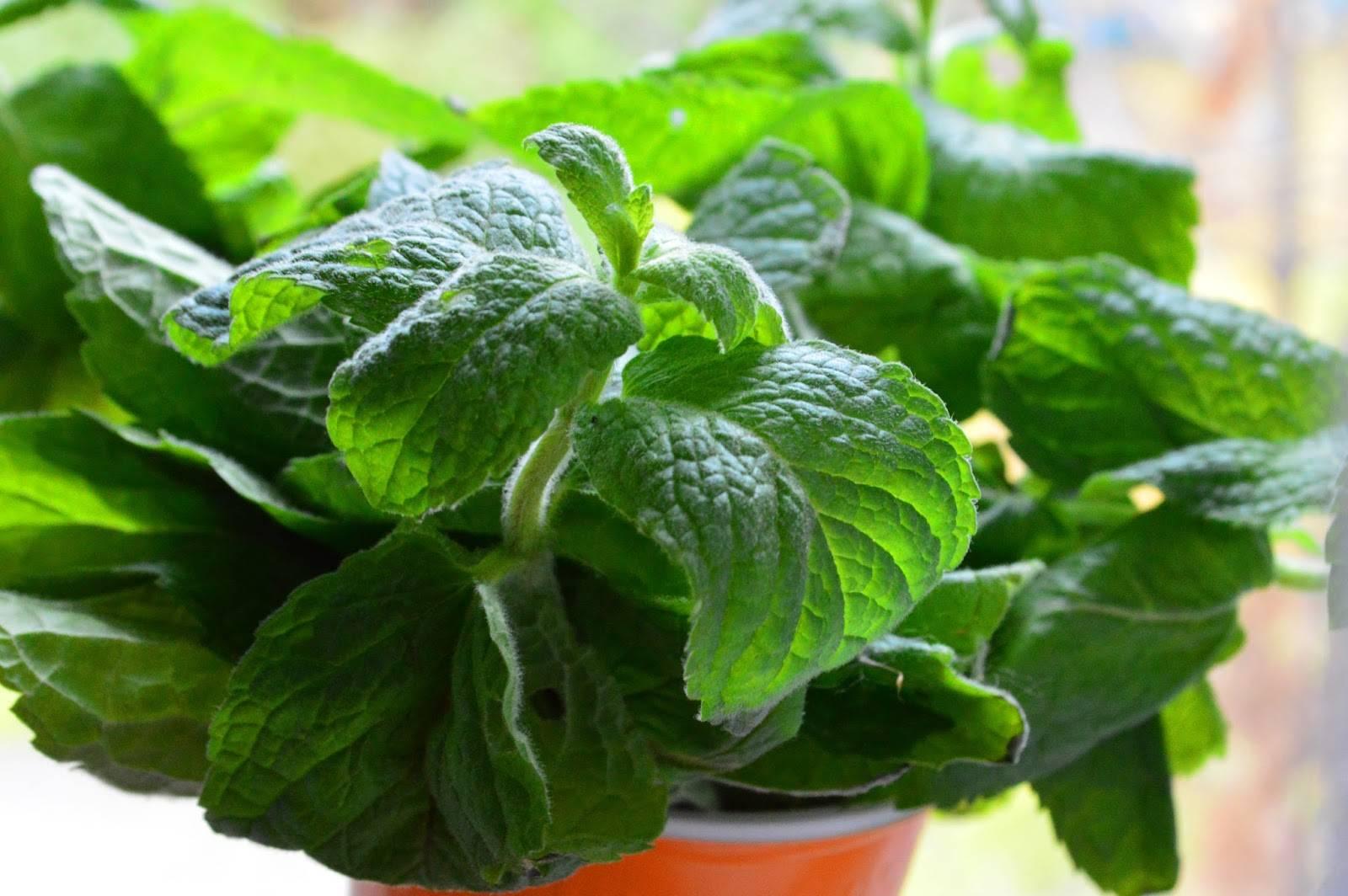 Выращивание мелиссы в саду и дома: как ухаживать за лимонной мятой, размножение