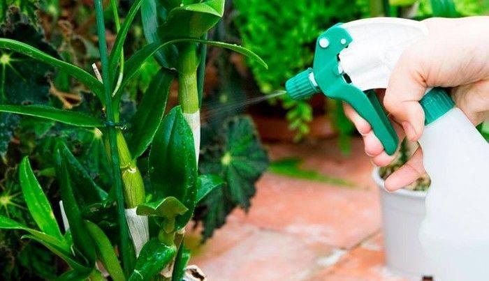 Комнатная разновидность растения пеперомия «туполистная»