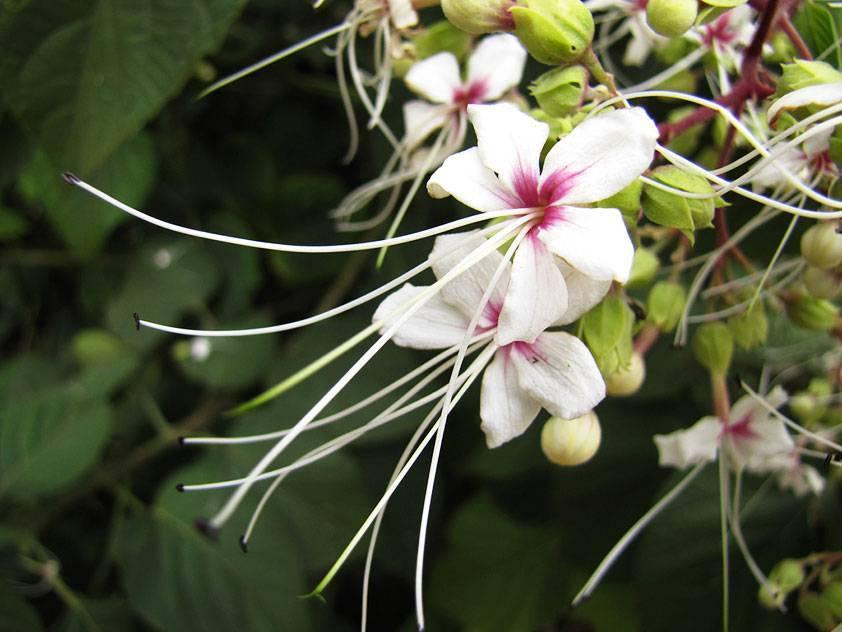 """Клеродендрум – """"дерево судьбы"""": приметы и суеверия, связанные с этим цветком"""
