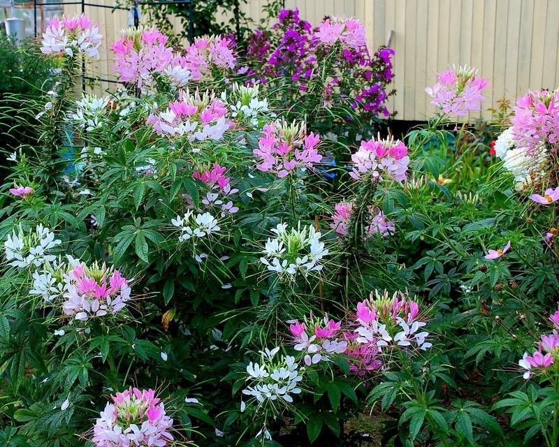 Цветок клеома: посадка, выращивание, уход