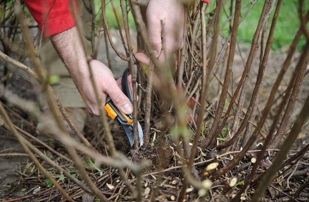 Обрезка чубушника: схема обрезки жасмина после цветения. как правильно подстричь крону шаром? стричь нужно летом, весной или осенью?
