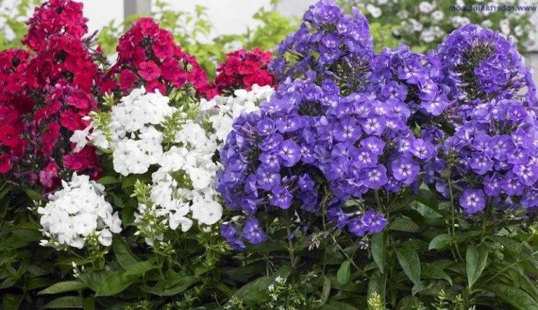 Чем подкормить флоксы осенью. удобрения для флоксов. трудности при выращивании садовых флоксов