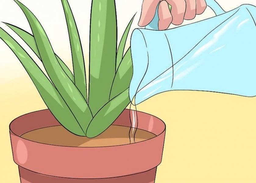 Разновидности цветка алоэ: как ухаживать за суккулентом в домашних условиях