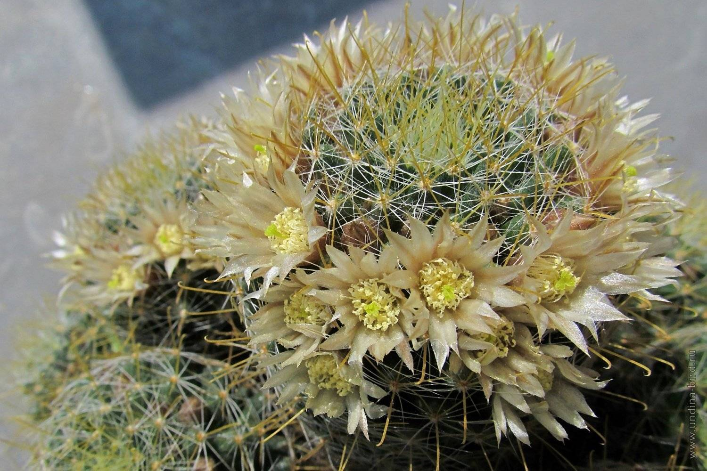 Маммиллярия: уход за кактусом в домашних условиях
