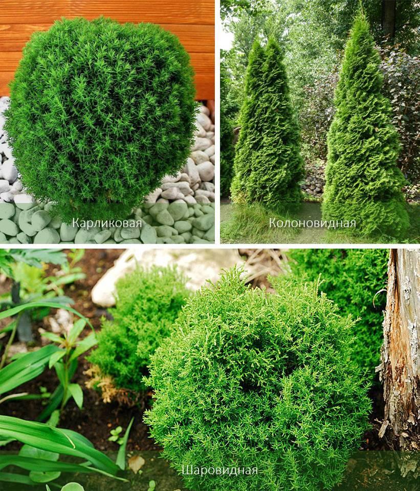 Как посадить и вырастить тую в сибири: сибирские разновидности туй