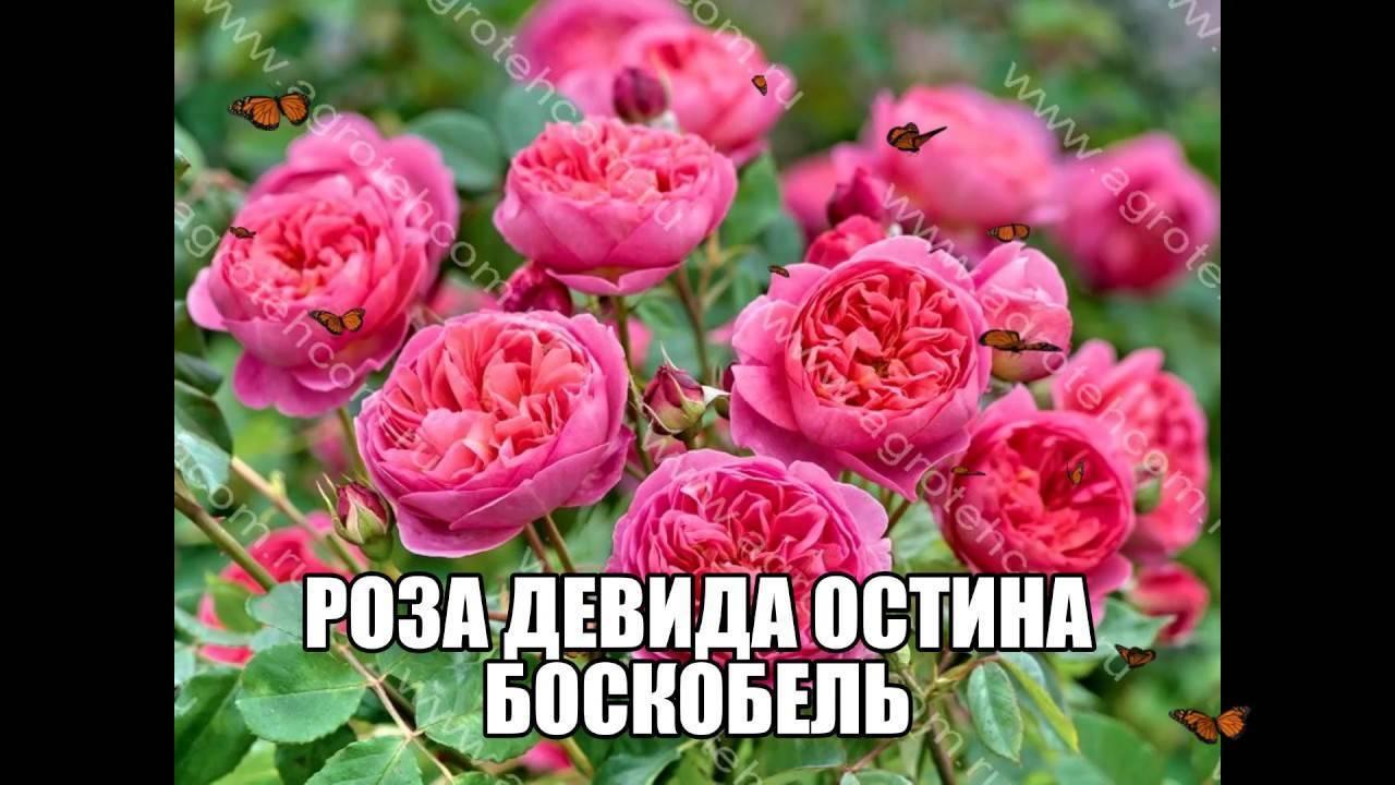 Розы тантау: описание и выращивание