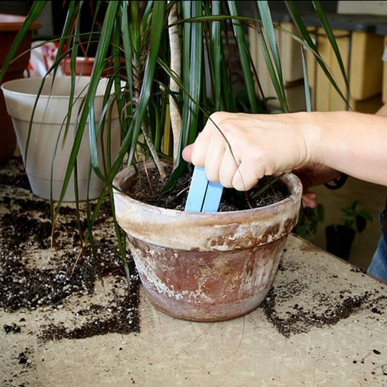 Выращивание драцены дома: как посадить, ухаживать, удобрять, размножать, поливать