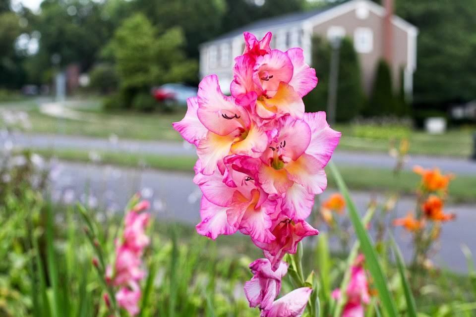 Почему гладиолусы не цветут – все возможные причины