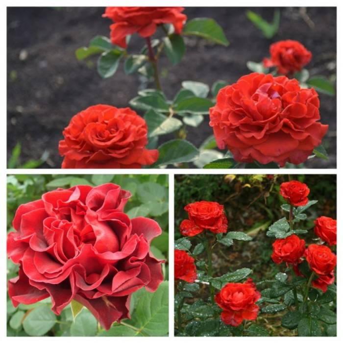 Роза осиана (osiana) — описание гибридного сорта