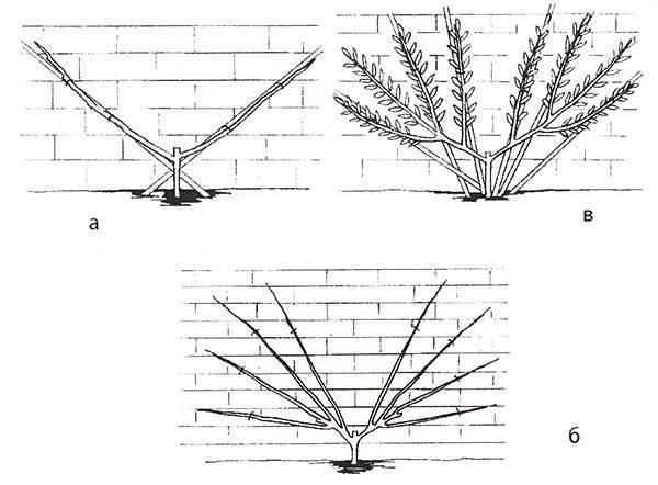 Дерево инжира в домашних условиях: особенности ухода и выращивания