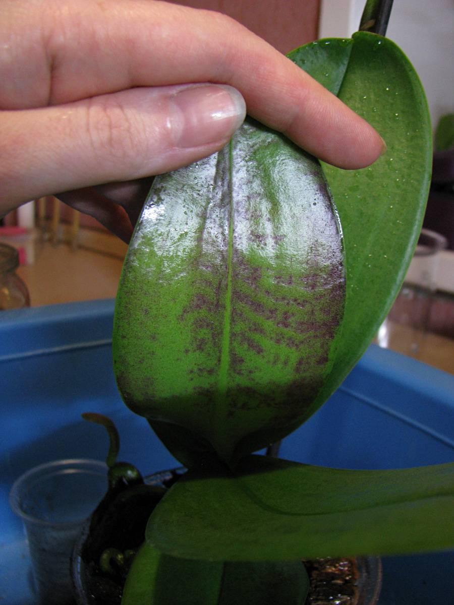 Информация от специалистов: какие бывают вредители орхидей фаленопсис и их лечение с фото