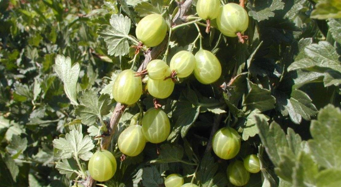 Сорт крыжовника малахит: характеристика, выращивание и как сажают