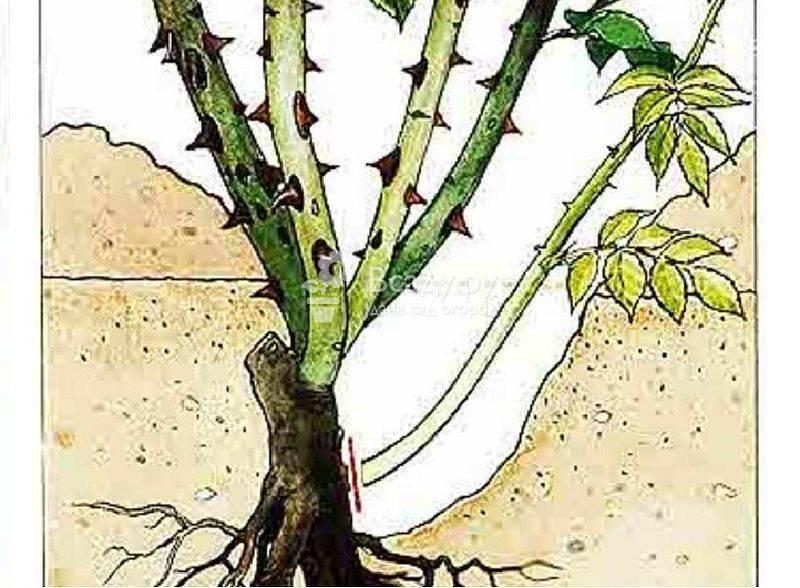 Описание суданской розы: выращивание в домашних условиях, посадка и уход