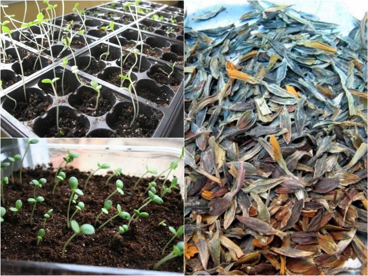 Аристократичная цинния: способы выращивания, уход, размножение