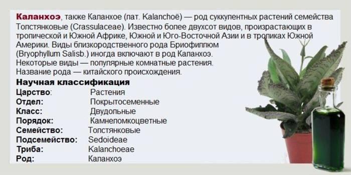 Каланхоэ — лечебные виды, польза и применение