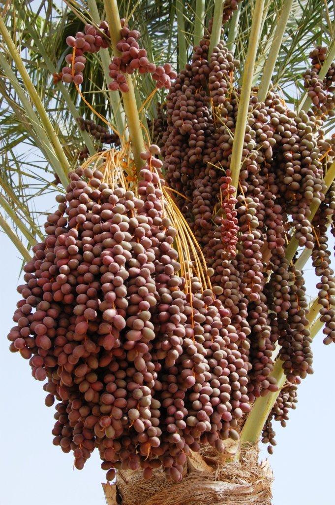 Все о финиковой пальме: фото, описание и уход за растением