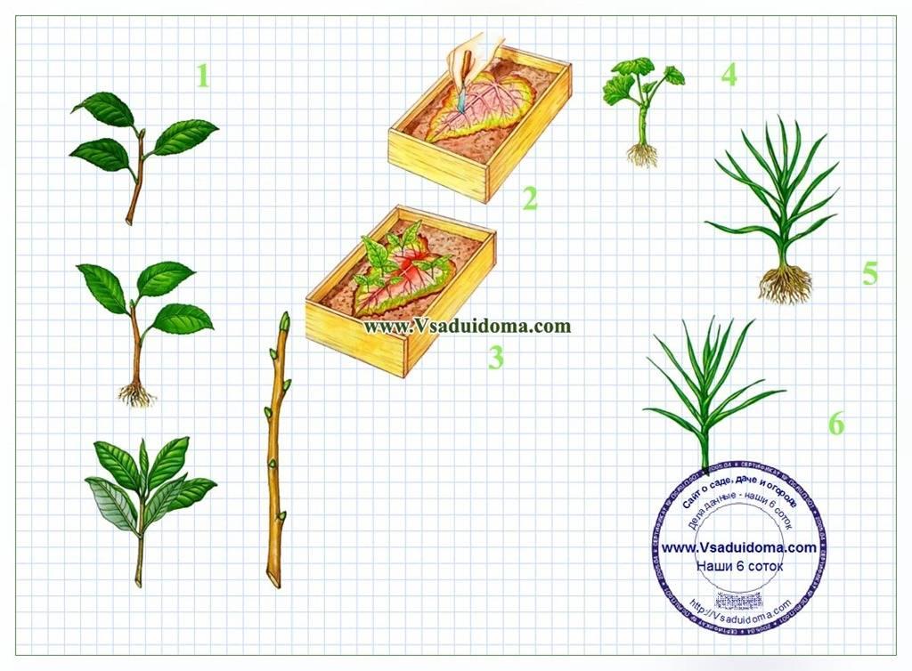 Особенности посадки и правила по уходу за даурским дальневосточным рододендроном