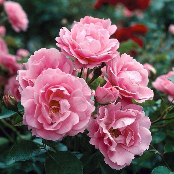 Роза квин оф хартс (квин оф хартс)
