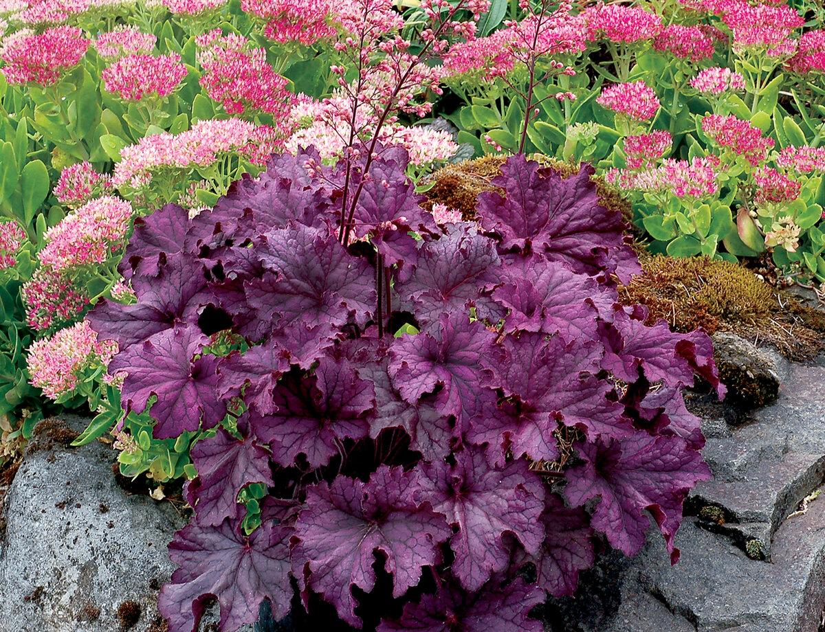 Гейхера в саду – посадка, выращивание и уход