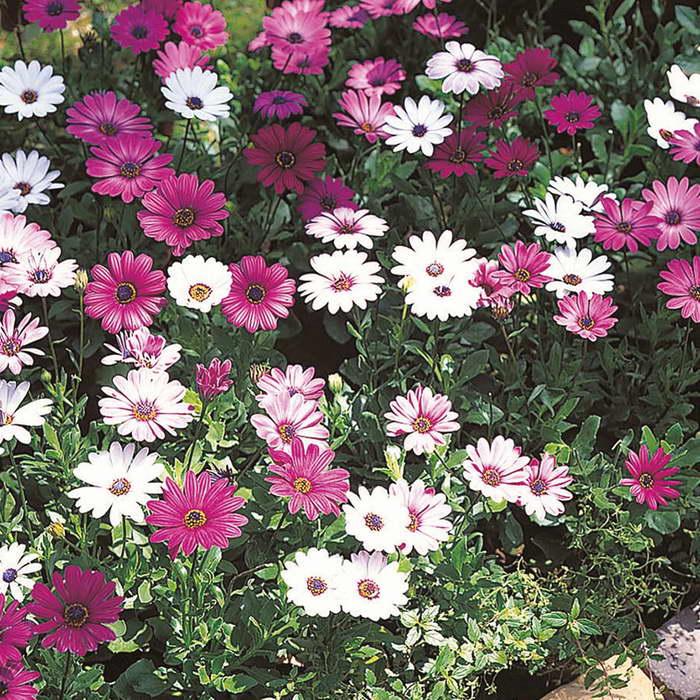 Каталог уличных цветов с картинками