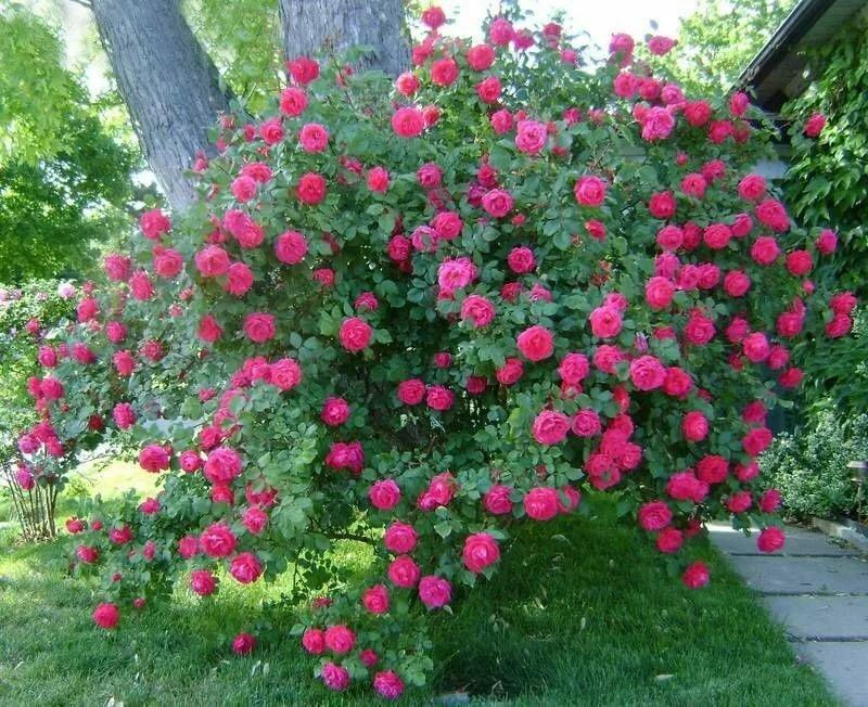 Характеристика розы морден сентенниал