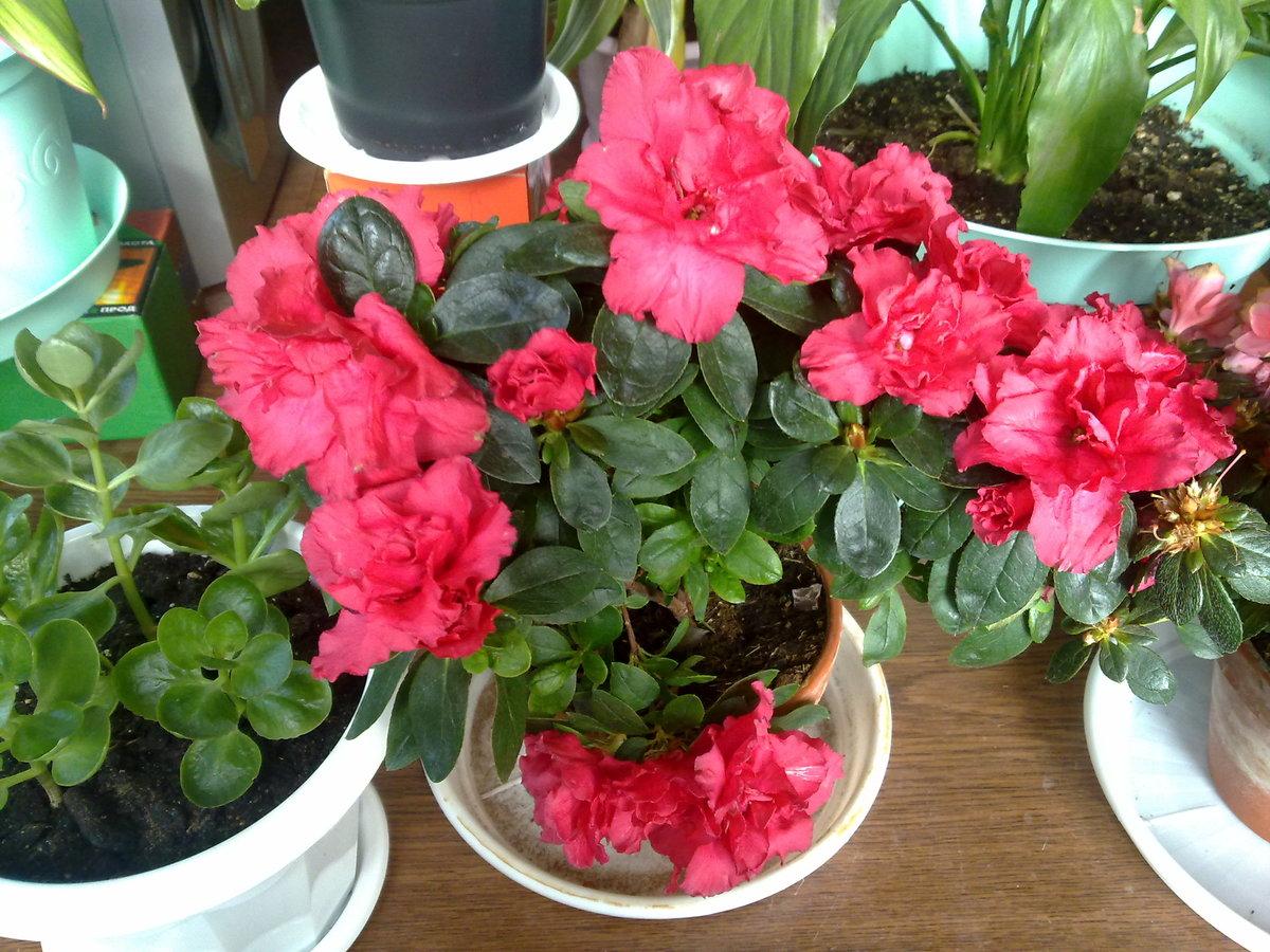 Азалия:  уход в домашних условиях после покупки и выращивание