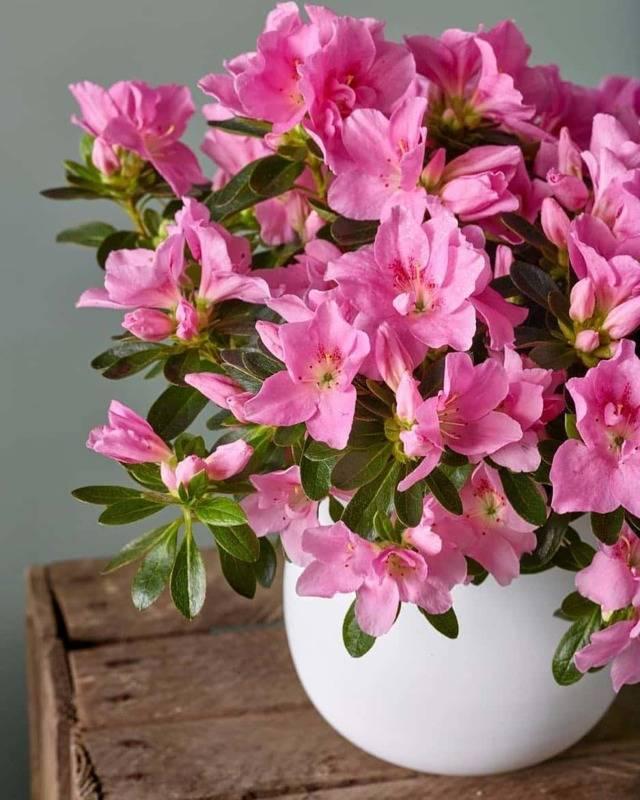 Уход за азалией после покупки и выращивание в домашних условиях