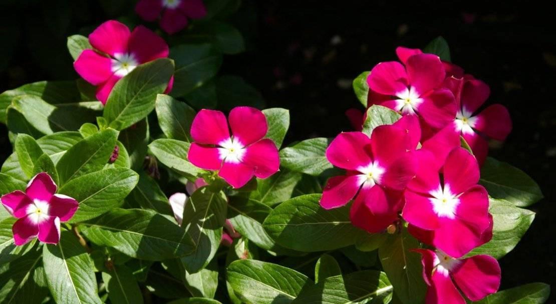 Катарантус: выращивание, посадка и уход, фото цветка, особенности его черенкования, посев семян к концу зимы, а также почему желтеют листья в домашних условиях?