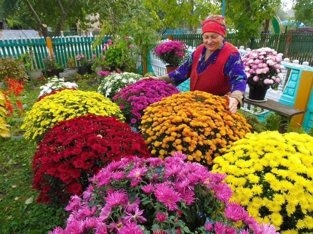 Хризантема мультифлора (шаровидная) — выращивание и размножение