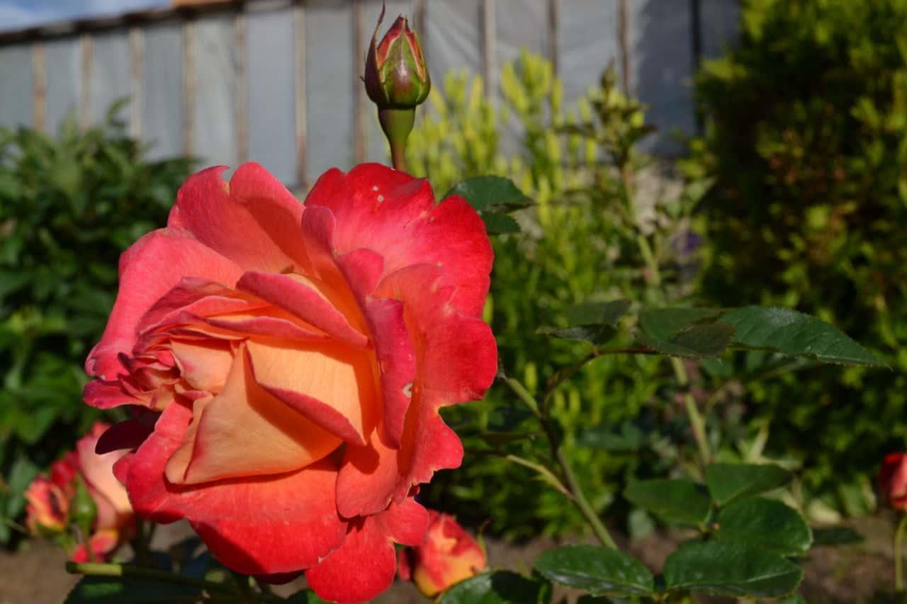 Описание сортовой розы арлекин мьям декор: выращивание паркового плетистого цветка
