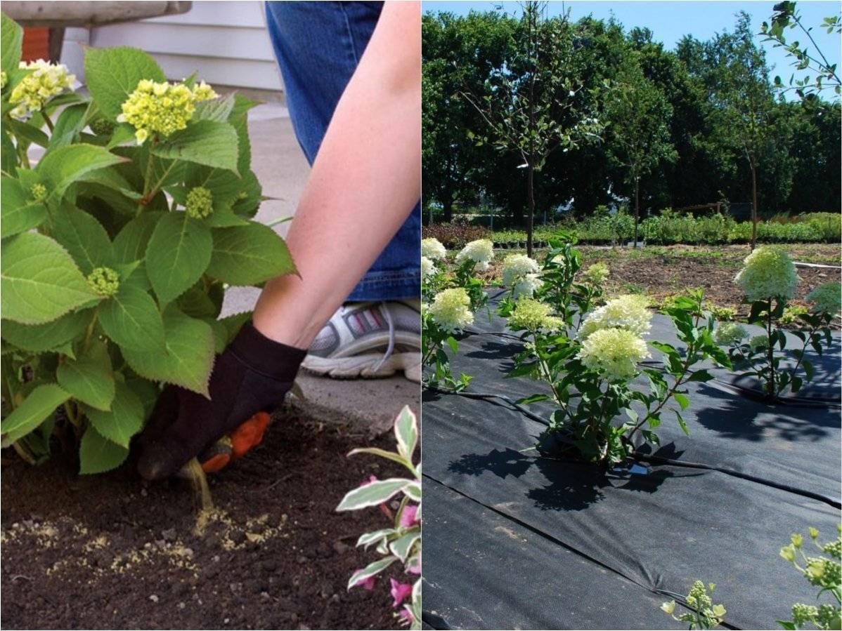 Правила выращивания крупнолистных гортензий