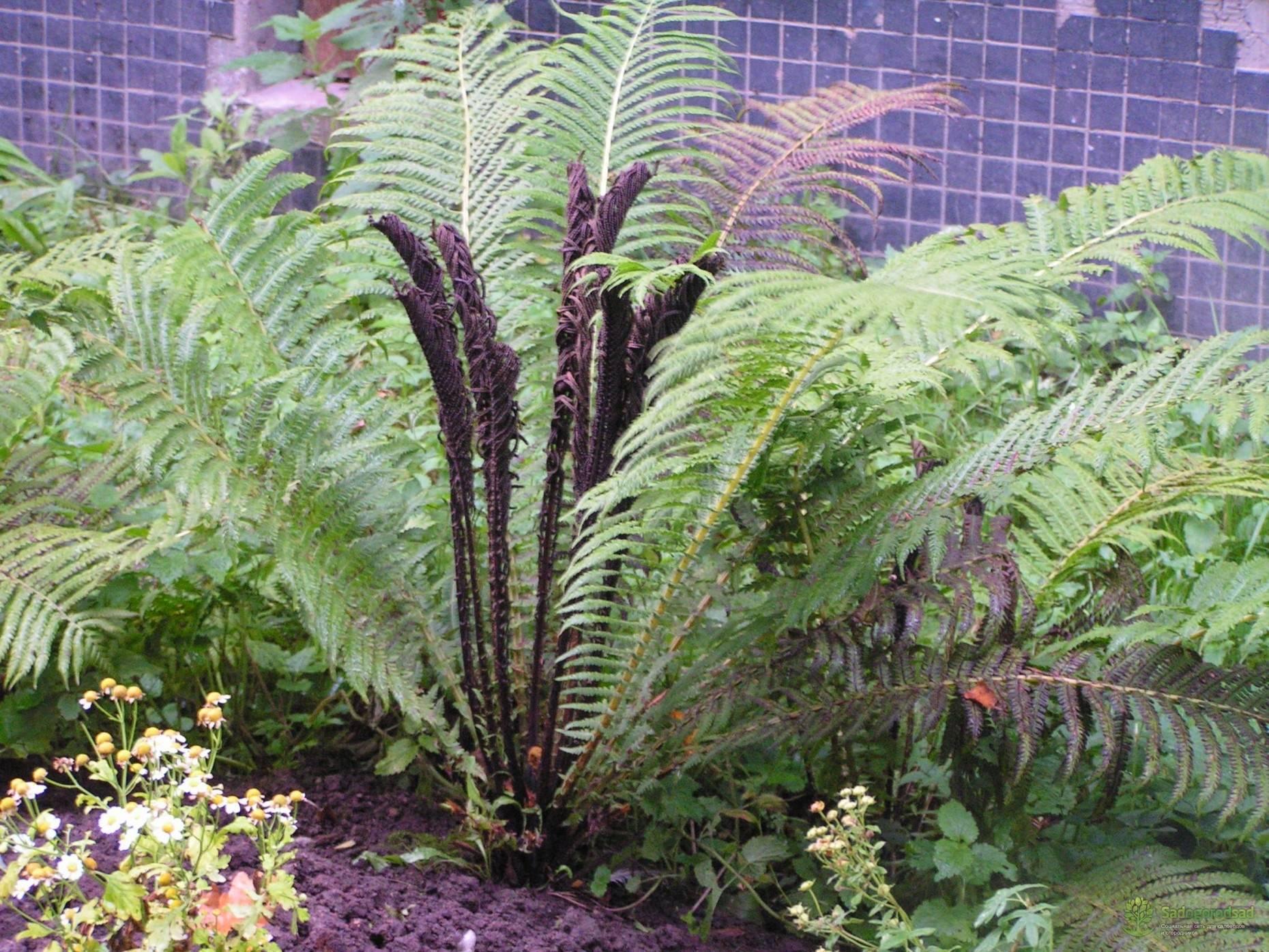 Страусник вида обыкновенный: как вырастить на участке красивый папоротник