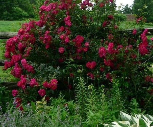 Парковая роза посадка и уход в открытом грунте канадские и английские парковые розы фото