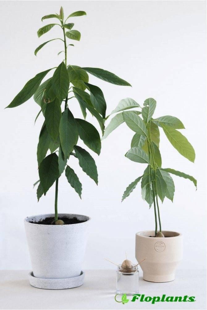 Как посадить и вырастить  авокадо в домашних условиях - инструкция