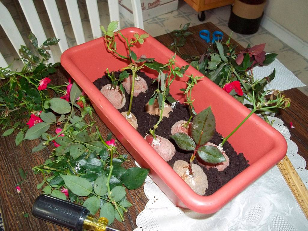Как укоренить розу из букета в домашних условиях