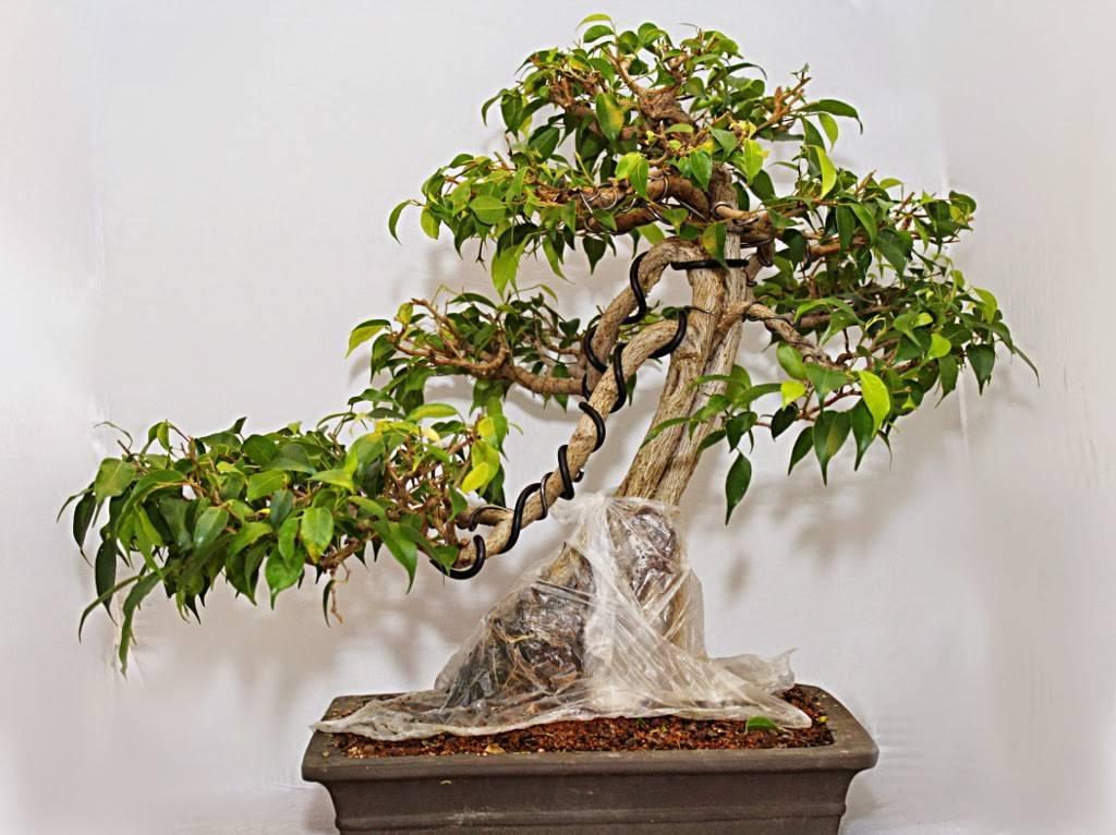 Рекомендации по выращиванию бонсая из можжевельника