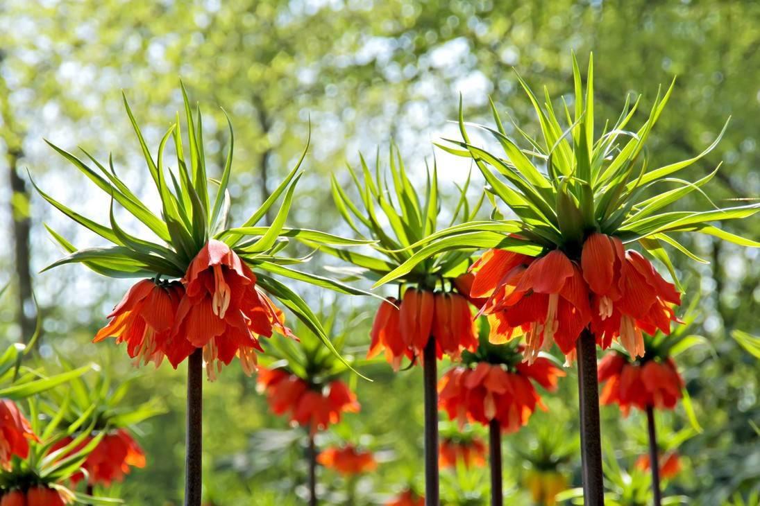 Рябчик — экстравагантный конкурент нарцисса и тюльпана