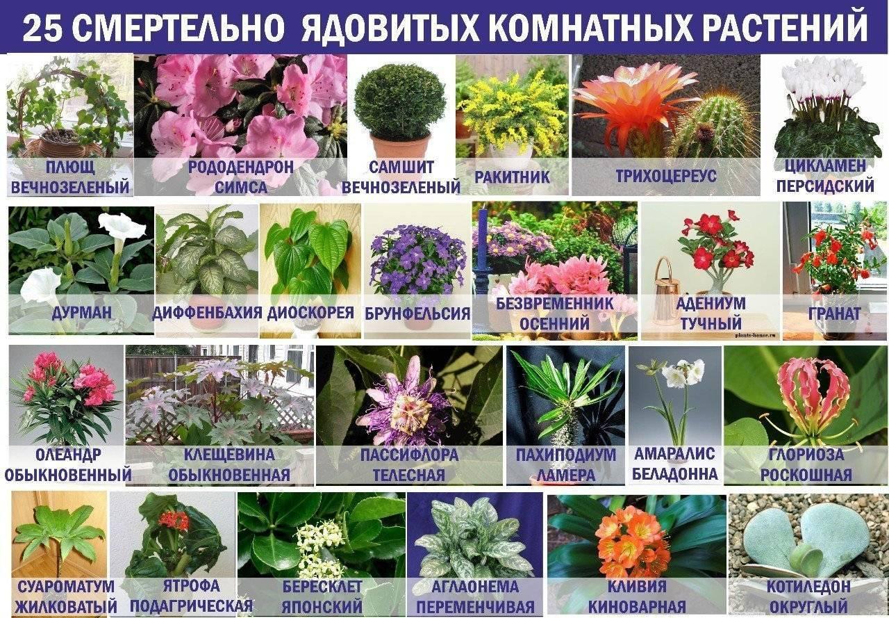 10 токсичных комнатных растений, которые отравляют людей и домашних животных :: инфониак