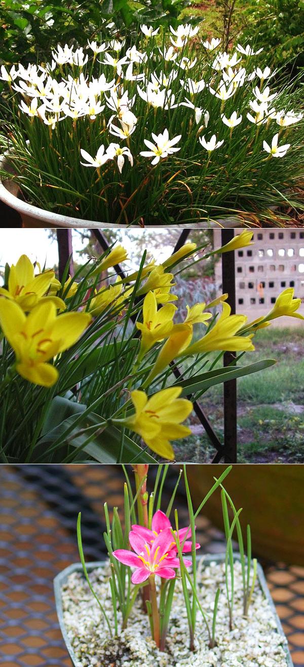 """""""зефирантес"""" (выскочка) - неприхотливый цветок: фото растения, уход в домашних условиях"""