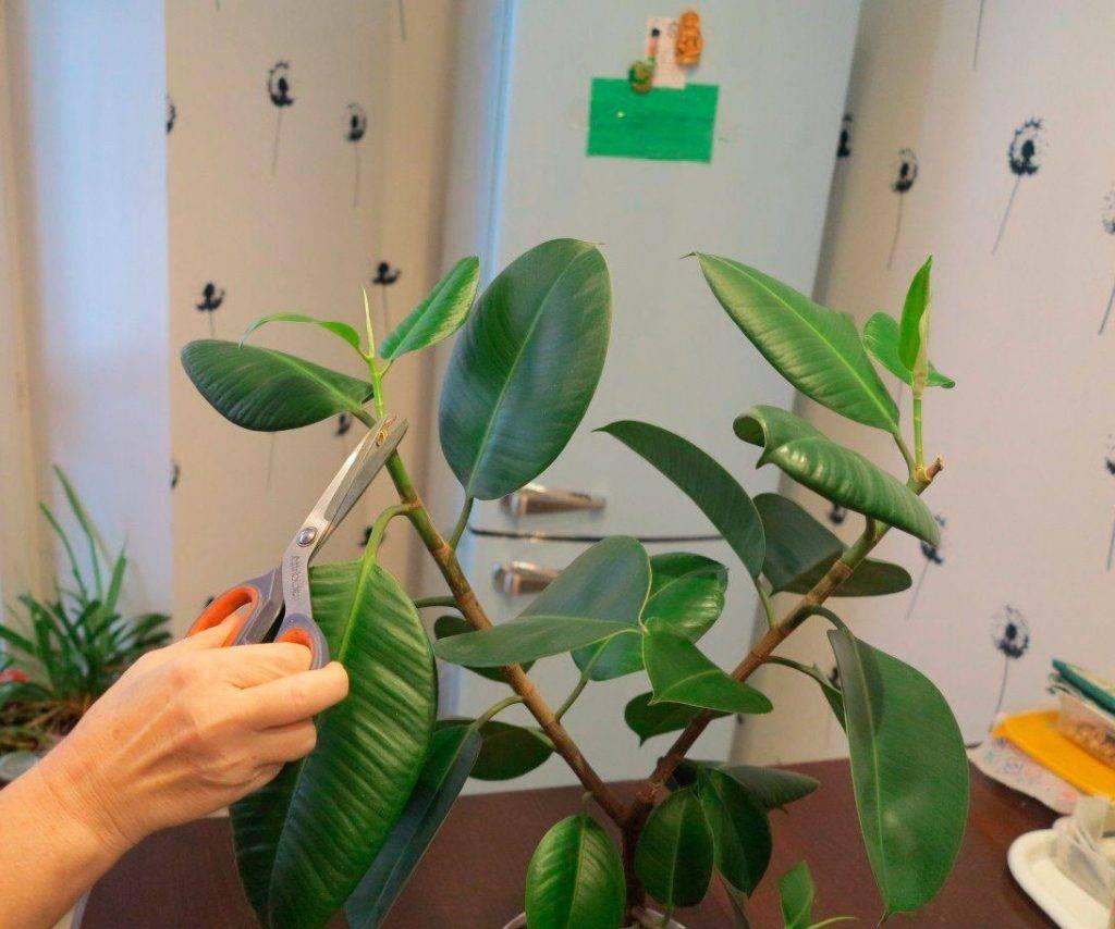 Обрезка каланхоэ в домашних условиях: как формировать крону и прищипывать