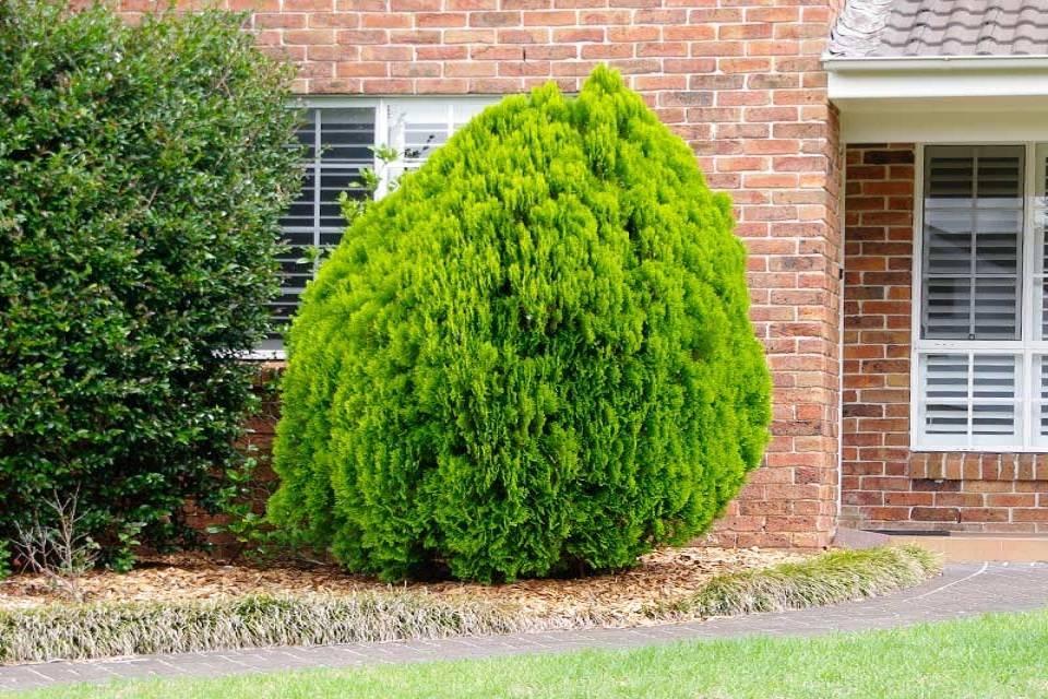 Дерево туя: посадка и уход в открытом грунте, фото, пересадка, размножение, виды и сорта