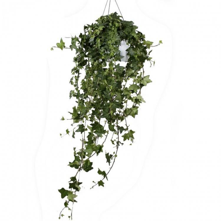 Комнатные растения вьюны: неприхотливые вьющиеся комнатные растения
