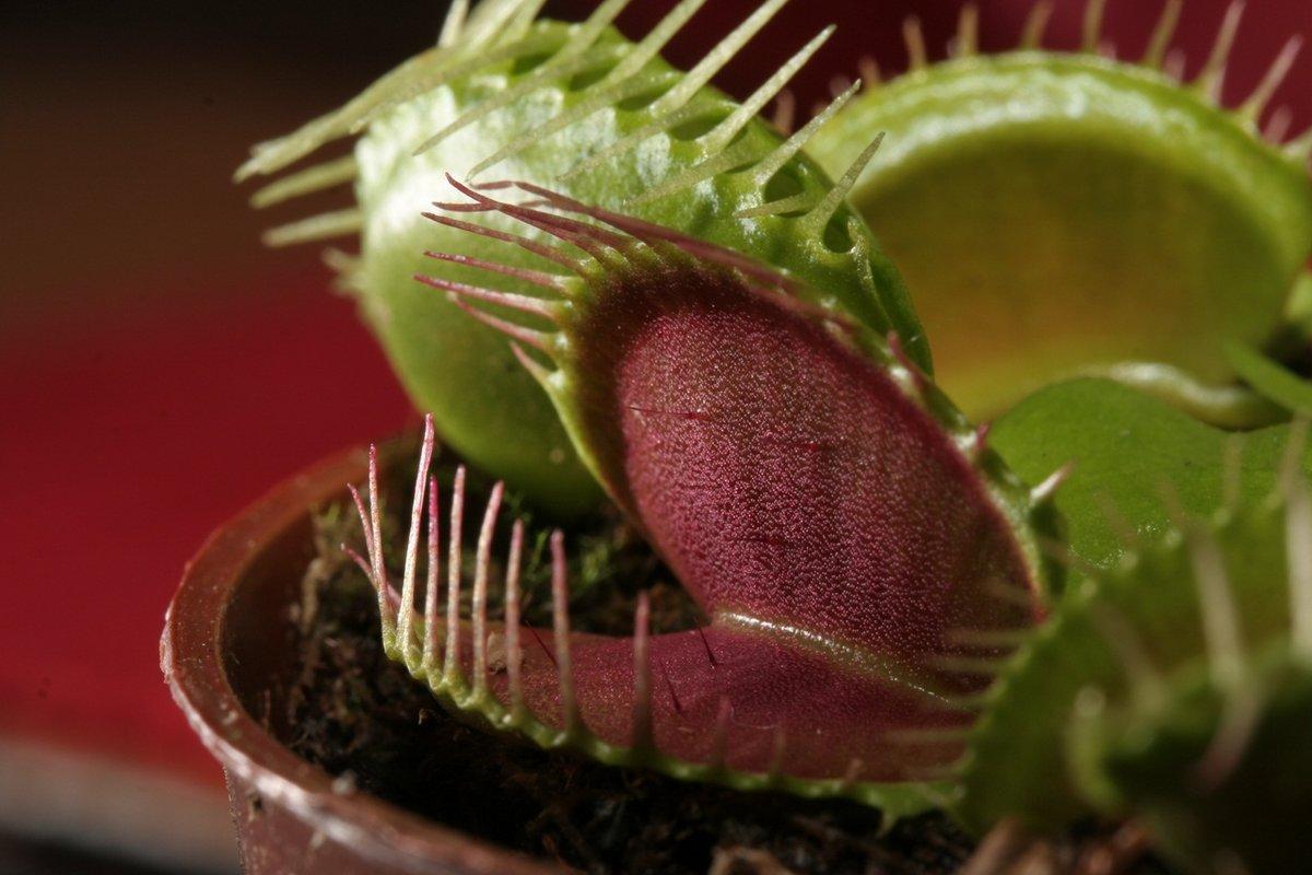 Чем кормить венерину мухоловку? чем она питается?