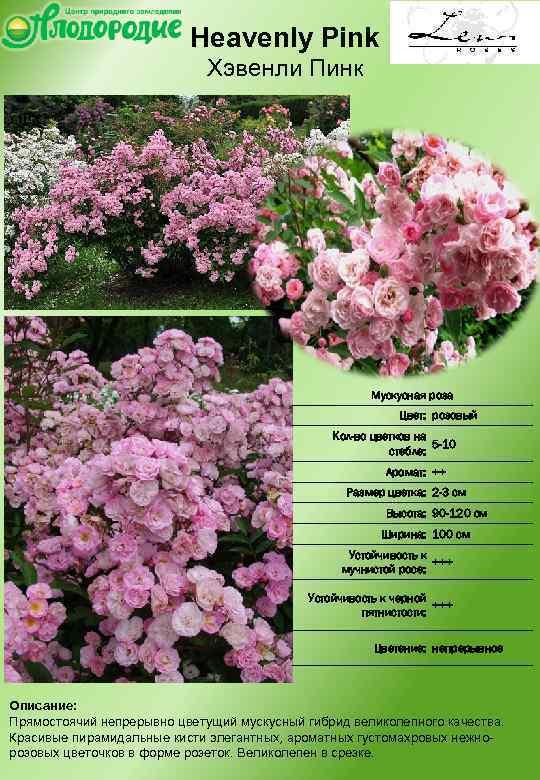 Pink floyd — чайно-гибридная пурпурная роза из нидерлдандов