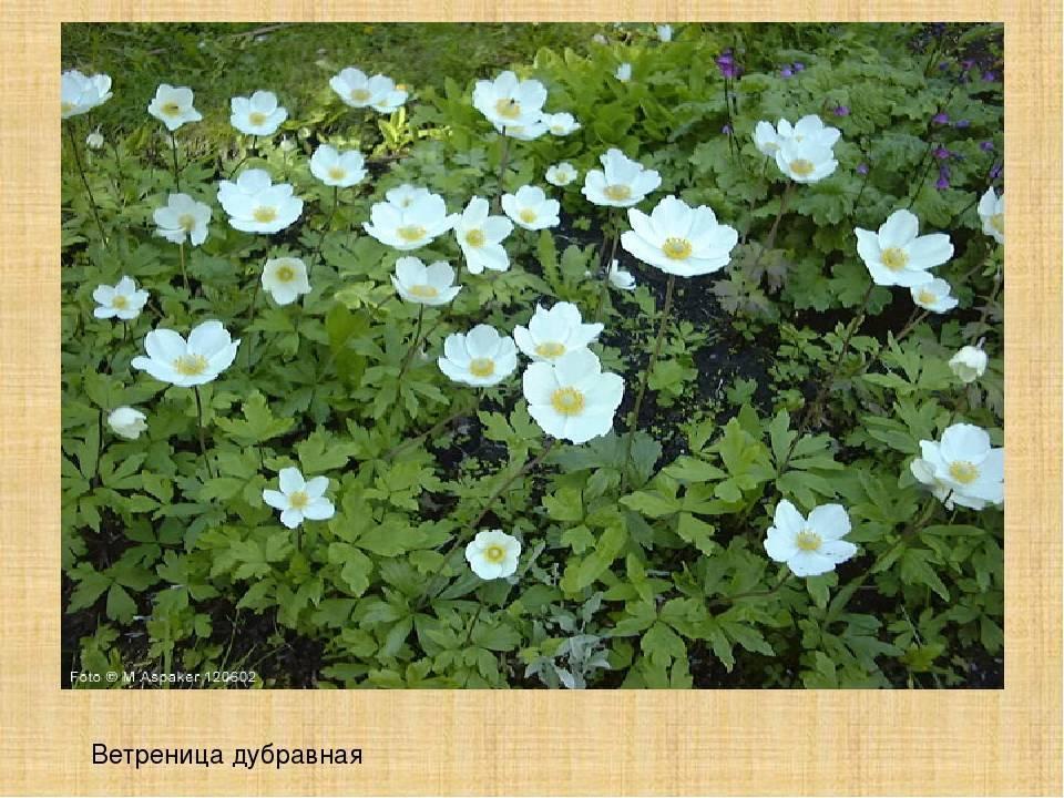 Анемона японская (49 фото): посадка и уход в открытом грунте, описание многолетнего травянистого растения ветреница японская или осенняя