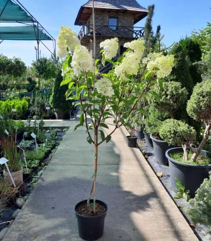Нормирование и формирование гортензии для пышного цветения