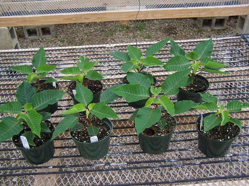 Выращивание цветка пуансетии: как посадить, ухаживать, удобрять, размножать