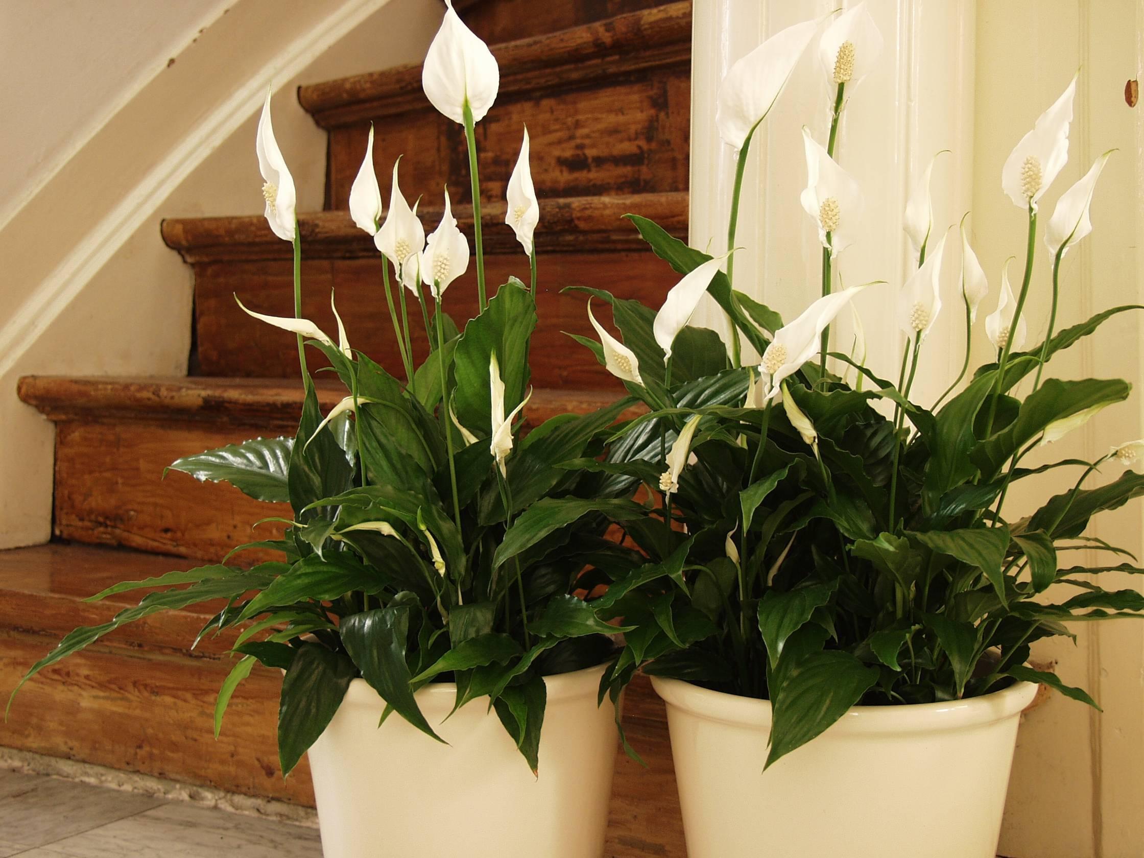 Почему не цветет спатифиллум — главные причины и стимуляция растения